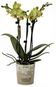 Little Kolibri Collection OK Plant