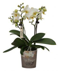 Little Kolibri Orchids OK Plant
