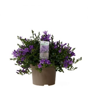 Assortiment_OKPLANT_Addenda_ambella_purple