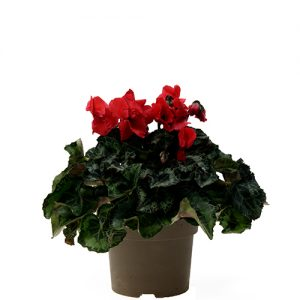 Assortiment_OKPLANT_cyclaam_Jive_red