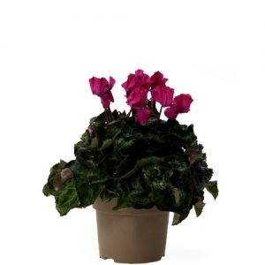 Assortiment_OKPLANT_cyclaam_Jive_violet