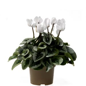 Assortiment_OKPLANT_cyclaam_Rembrand_White