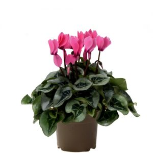 Assortiment_OKPLANT_cyclaam_Rembrand_pink