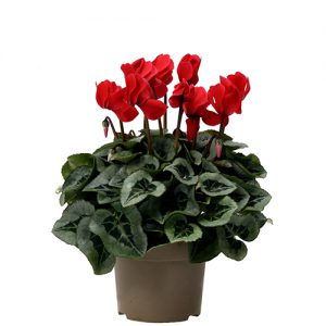 Assortiment_OKPLANT_cyclaam_Rembrand_red