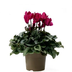 Assortiment_OKPLANT_cyclaam_Rembrand_violet
