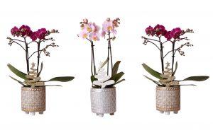 Little Kolibri Orchids mix in binti mix met kerstboom