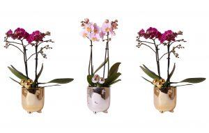 Kolibri Orchids Phalaenopsis 2 spike in Pearl pot