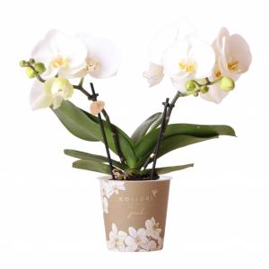 Kolibri Company - Jewel orchidee Greenland 9 cm
