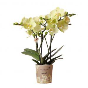 Kolibri Company - Kolibri Orchids Mineral geel Cali 9cm orchidee kopen