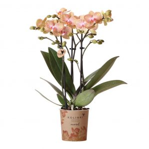 Kolibri Company - Kolibri Orchids Mineral oranje Trento nepal 9cm orchidee kopen