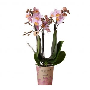 Kolibri Company - Kolibri Orchids Mineral pink Andorra 9cm orchidee kopen
