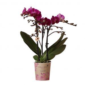 Kolibri Company - Kolibri Orchids Mineral violet Morelia 9cm orchidee kopen
