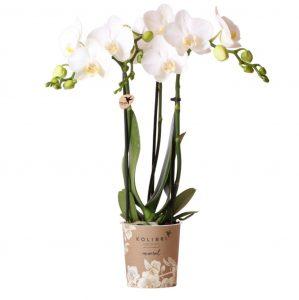 Kolibri Company - Kolibri Orchids Mineral white Amabilis 9cm orchidee kopen