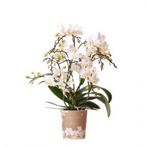 Kolibri Orchids Botanical