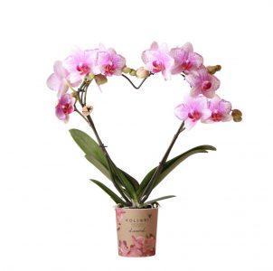 Kolibri Orchids Diamond love Rotterdam 9cm