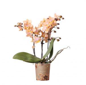 Kolibri Orchids Fragrance 9cm 3 spike