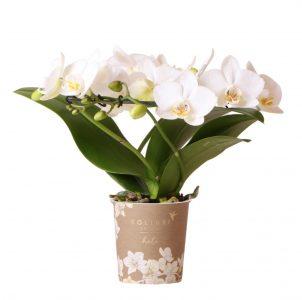Kolibri Orchids Halo white 9cm