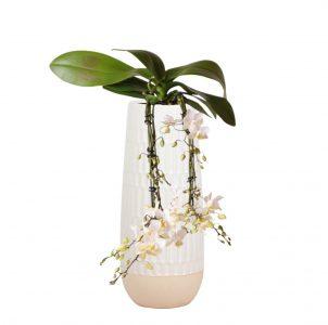 Kolibri Orchids Victoria Fall 9cm