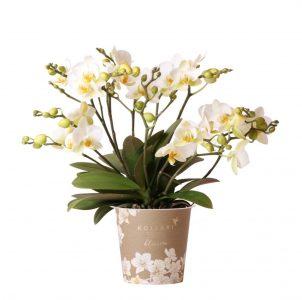 Kolibri Orchids blossom white 12cm